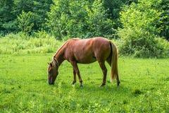 Το καφετί άλογο βόσκει το πράσινο χορτάρι στο λιβάδι Στοκ Εικόνες