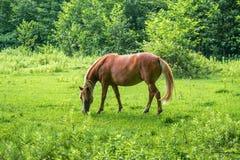 Το καφετί άλογο βόσκει το πράσινο χορτάρι στο λιβάδι Στοκ εικόνα με δικαίωμα ελεύθερης χρήσης