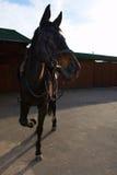 Το καφετί άλογο κοιτάζει και χορεύει Στοκ φωτογραφία με δικαίωμα ελεύθερης χρήσης
