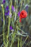 Το καλαμπόκι αυξήθηκε λουλούδι Στοκ Φωτογραφία