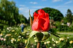 Το καλοκαίρι ανθίσματος αυξήθηκε στον οφθαλμό Στοκ Φωτογραφίες