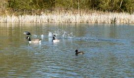 Το καλοκαίρι κολυμπά για τις καναδικές χήνες και την τοπική ζωή πουλιών Στοκ Φωτογραφίες