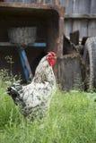 Το καλοκαίρι, το χωριό στο ναυπηγείο στη χλόη είναι ένας κόκκορας Στοκ Φωτογραφίες