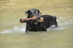 Το καλό σκυλί μου rottweiler Στοκ φωτογραφία με δικαίωμα ελεύθερης χρήσης