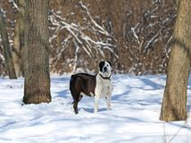 Το κεντρικό ασιατικό θηλυκό σκυλιών ποιμένων Στοκ Εικόνα
