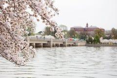 Το κεράσι ανθίζει ανατολή του Washington DC στοκ φωτογραφίες
