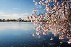 Το κεράσι ανθίζει ανατολή του Washington DC στοκ εικόνα με δικαίωμα ελεύθερης χρήσης