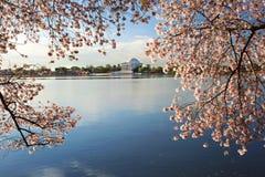 Το κεράσι ανθίζει ανατολή του Washington DC στοκ εικόνα