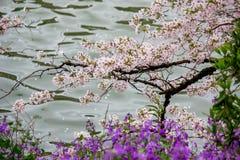 Το κεράσι ανθίζει και πορφυρά λουλούδια άνοιξη στην τάφρο Chidorigafuchi, Chiyoda, Τόκιο, Ιαπωνία Στοκ Φωτογραφίες