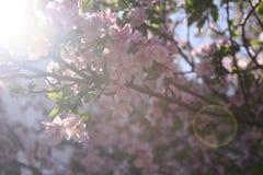 Το κεράσι ανθίζει Νέα Αγγλία Στοκ φωτογραφία με δικαίωμα ελεύθερης χρήσης