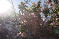 Το κεράσι ανθίζει Νέα Αγγλία Στοκ φωτογραφίες με δικαίωμα ελεύθερης χρήσης