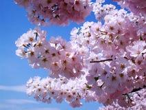 Το κεράσι ανθίζει λουλούδια Στοκ Εικόνες