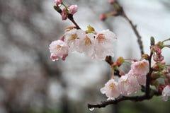 Το κεράσι ανθίζει σε Sakura κανένα sato, Izu, πτώση βροχής του Σιζουόκα Στοκ Φωτογραφίες