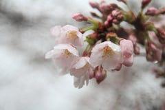 Το κεράσι ανθίζει σε Sakura κανένα sato, Izu, πτώση βροχής του Σιζουόκα Στοκ Εικόνες