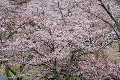 Το κεράσι ανθίζει σε Sakura κανένα sato, Izu, Σιζουόκα βροχερό Στοκ φωτογραφίες με δικαίωμα ελεύθερης χρήσης