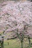 Το κεράσι ανθίζει σε Sakura κανένα sato, Izu, Σιζουόκα βροχερό Στοκ Φωτογραφίες