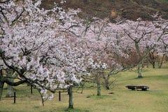 Το κεράσι ανθίζει σε Sakura κανένα sato, Izu, Σιζουόκα βροχερό Στοκ Εικόνες