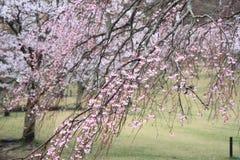 Το κεράσι ανθίζει σε Sakura κανένα sato, Izu, Σιζουόκα βροχερό Στοκ Φωτογραφία