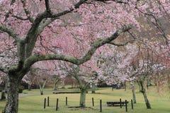 Το κεράσι ανθίζει σε Sakura κανένα sato, Izu, Σιζουόκα βροχερό Στοκ φωτογραφία με δικαίωμα ελεύθερης χρήσης