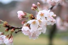 Το κεράσι ανθίζει σε Sakura κανένα sato, Izu, Σιζουόκα βροχερό Στοκ εικόνες με δικαίωμα ελεύθερης χρήσης