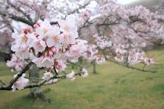 Το κεράσι ανθίζει σε Sakura κανένα sato, Izu, Σιζουόκα βροχερό Στοκ Εικόνα