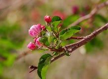 το κεράσι ανθίζει το ροζ Στοκ εικόνα με δικαίωμα ελεύθερης χρήσης