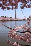 Το κεράσι ανθίζει Potomac ποταμός Washington DC Στοκ Φωτογραφία