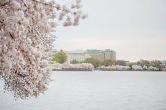 Το κεράσι ανθίζει Washington DC στοκ εικόνες
