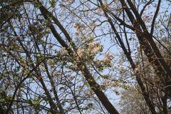 Το κεράσι Sakura άνοιξη ανθίζει δέντρα ν Στοκ φωτογραφία με δικαίωμα ελεύθερης χρήσης