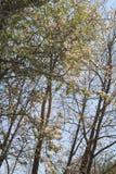 Το κεράσι Sakura άνοιξη ανθίζει δέντρα ν Στοκ Φωτογραφίες