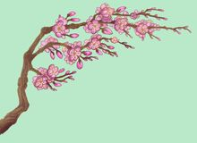 Το κεράσι Sakura άνοιξη ανθίζει δέντρα ν Στοκ Εικόνες