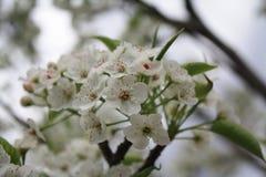 Το κεράσι Sakura ανθίζει μακροεντολή Στοκ Φωτογραφία