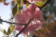 Το κεράσι Sakura Kirin ανθίζει Νέα Αγγλία Στοκ Εικόνες