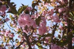 Το κεράσι Sakura Kirin ανθίζει Νέα Αγγλία Στοκ φωτογραφίες με δικαίωμα ελεύθερης χρήσης