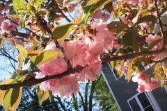 Το κεράσι Sakura Kirin ανθίζει Νέα Αγγλία Στοκ Φωτογραφία