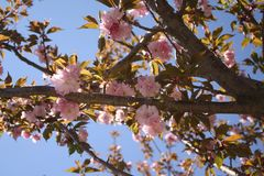 Το κεράσι Sakura Kirin ανθίζει Νέα Αγγλία Στοκ Φωτογραφίες