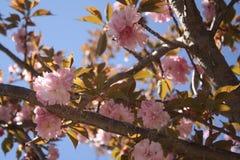 Το κεράσι Sakura Kirin ανθίζει Νέα Αγγλία Στοκ φωτογραφία με δικαίωμα ελεύθερης χρήσης