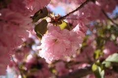 Το κεράσι Sakura Kirin ανθίζει Νέα Αγγλία Στοκ εικόνα με δικαίωμα ελεύθερης χρήσης