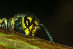Το κεφάλι της σφήκας εντόμων Στοκ φωτογραφίες με δικαίωμα ελεύθερης χρήσης