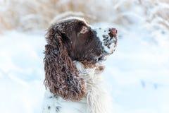 Το κεφάλι του σκυλιού είναι το αγγλικό σπανιέλ αλτών, στο χιόνι στη χειμερινή φύση στοκ φωτογραφία με δικαίωμα ελεύθερης χρήσης