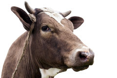 Το κεφάλι αγελάδων Στοκ Εικόνες