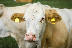 Το κεφάλι μιας αγελάδας Στοκ εικόνες με δικαίωμα ελεύθερης χρήσης