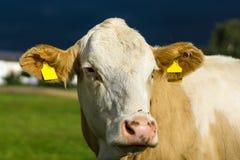 Το κεφάλι μιας αγελάδας Στοκ εικόνα με δικαίωμα ελεύθερης χρήσης