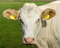 Το κεφάλι μιας αγελάδας Στοκ Εικόνες