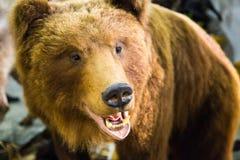 Το κεφάλι μιας καφετιάς αρκούδας με τα απογυμνωμένα δόντια Στοκ Εικόνα