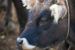Το κεφάλι μιας κινηματογράφησης σε πρώτο πλάνο αγελάδων μωρών Στοκ Εικόνα
