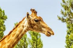 Το κεφάλι giraffe Στοκ Εικόνες