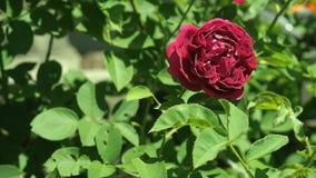 Το κλαρέ κόκκινο αυξήθηκε ανθίζοντας rosary κοντά επάνω Βαθιά - κόκκινος αυξήθηκε με τα πράσινα φύλλα στον κήπο Άνθη λουλουδιών σ φιλμ μικρού μήκους