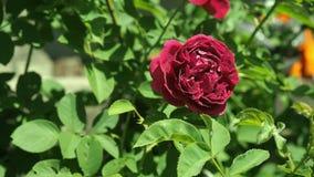 Το κλαρέ κόκκινο αυξήθηκε ταλάντευση στον αέρα στο rosarium Βαθιά - κόκκινος αυξήθηκε στα πλαίσια των πράσινων φύλλων, κλείνει επ απόθεμα βίντεο