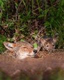 Το κογιότ (Canis latrans) και το κουτάβι κρυφοκοιτάζουν από το κρησφύγετο στοκ φωτογραφίες